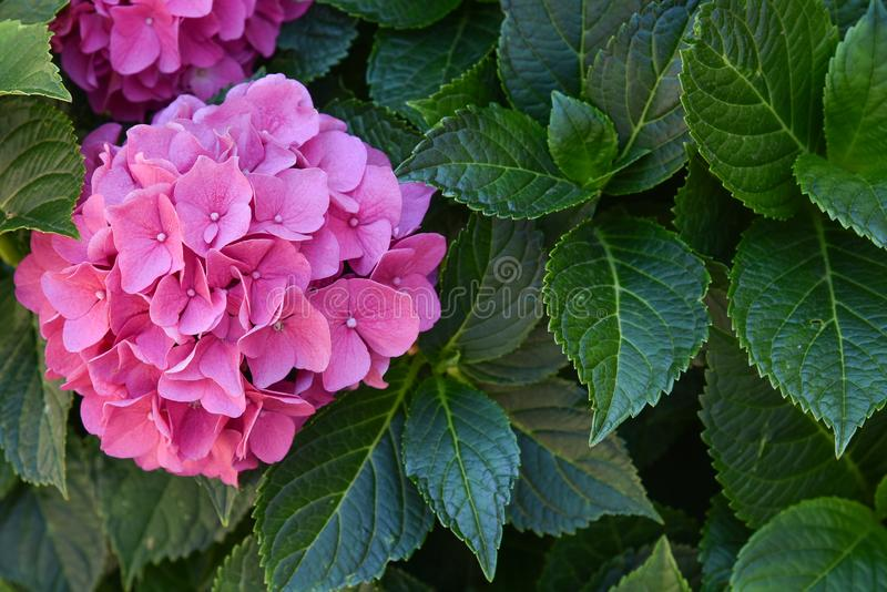 This secret garden is utterly dreamy. Showy flowers in summer. Hydrangea blossom on sunny day. Flowering hortensia plant. Flowering hortensia plant. Blossoming stock photography