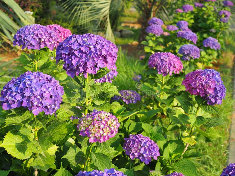 This secret garden is utterly dreamy. Showy flowers in summer. Hydrangea blossom on sunny day. Flowering hortensia plant. Blossoming flowers in summer garden royalty free stock image