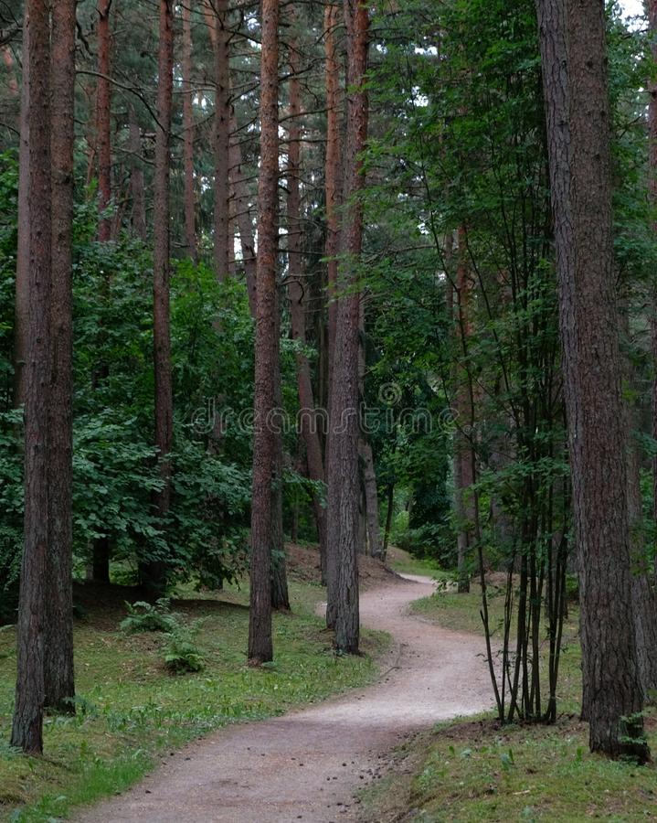 Secret path in the woods invites to explore. A wavy secret path in the pine forest, inviting to explore stock photos