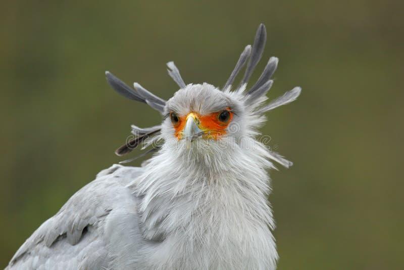 Secretaresse Bird, Boogschutterserpentarius, portret van aardige grijze roofvogel met oranje gezicht, Botswana, Afrika royalty-vrije stock fotografie