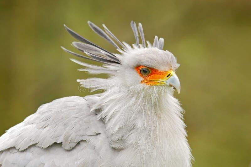 Secretaresse Bird, Boogschutterserpentarius, Portret van aardige grijze roofvogel met oranje gezicht, Kenia, Afrika Het wildsc?ne royalty-vrije stock afbeelding