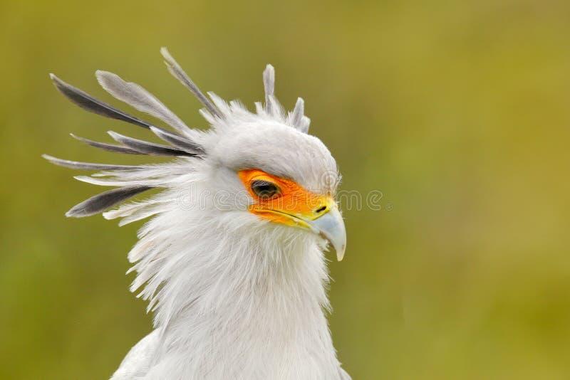 Secretaresse Bird, Boogschutterserpentarius, Portret van aardige grijze roofvogel met oranje gezicht, Kenia, Afrika Het wildsc?ne stock foto's