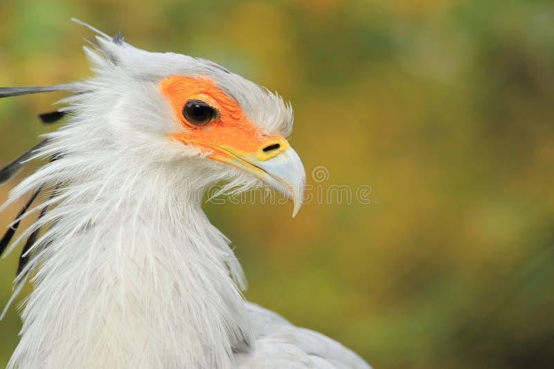 Secretaressevogel royalty-vrije stock fotografie