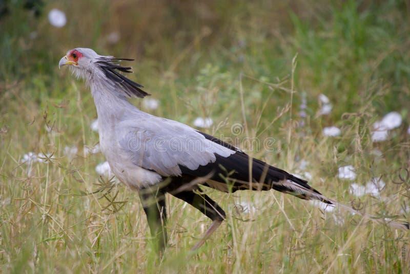 Secretaressevogel stock fotografie