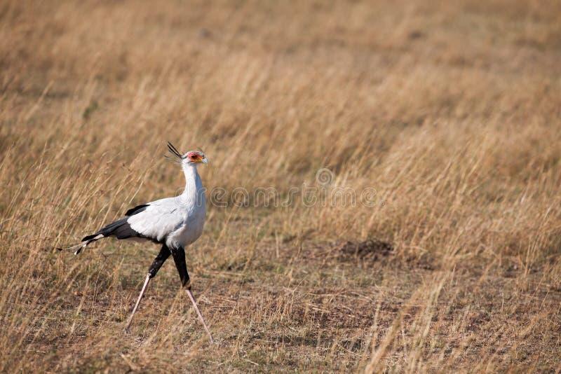 Secretaria Bird fotos de archivo libres de regalías