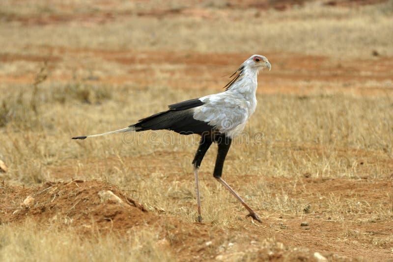 Secretaria pájaro fotografía de archivo