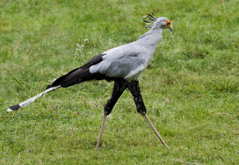 Secretary Bird Royalty Free Stock Photo