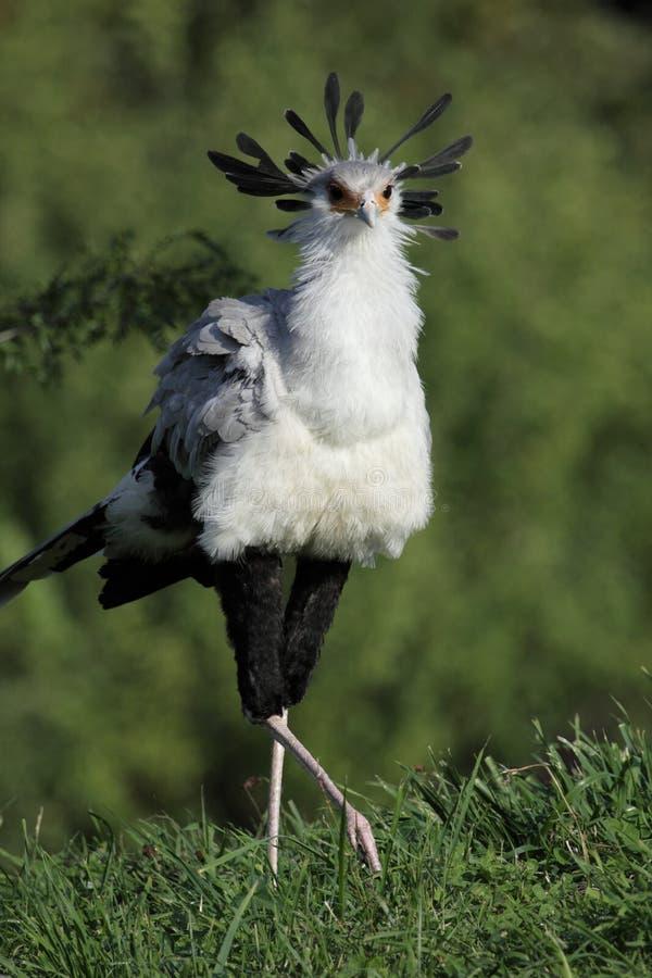 Download Secretary bird stock photo. Image of prey, serpentarius - 20604916