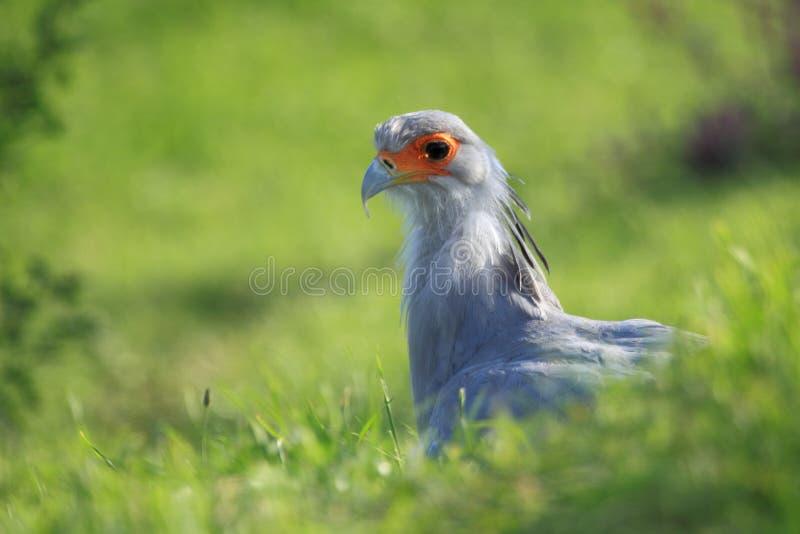 Download Secretary bird stock image. Image of terrestrial, sagittarius - 22826955
