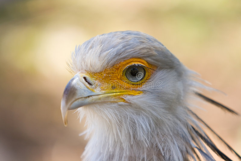 Secretary bird royalty free stock photos