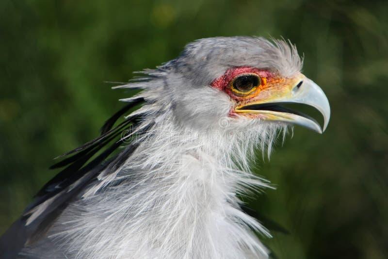 Secretary Bird stock photos