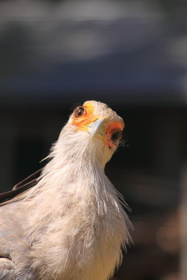 Secretary bird looking royalty free stock image
