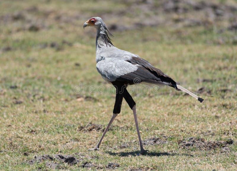 Secretary Bird in the Moremi Game Reserve of the Okavango Delta. Botswana royalty free stock photo