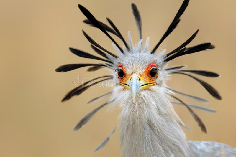 Secretary bird portrait. Close-up portrait of a secretary bird - Sagittarius serpentarius