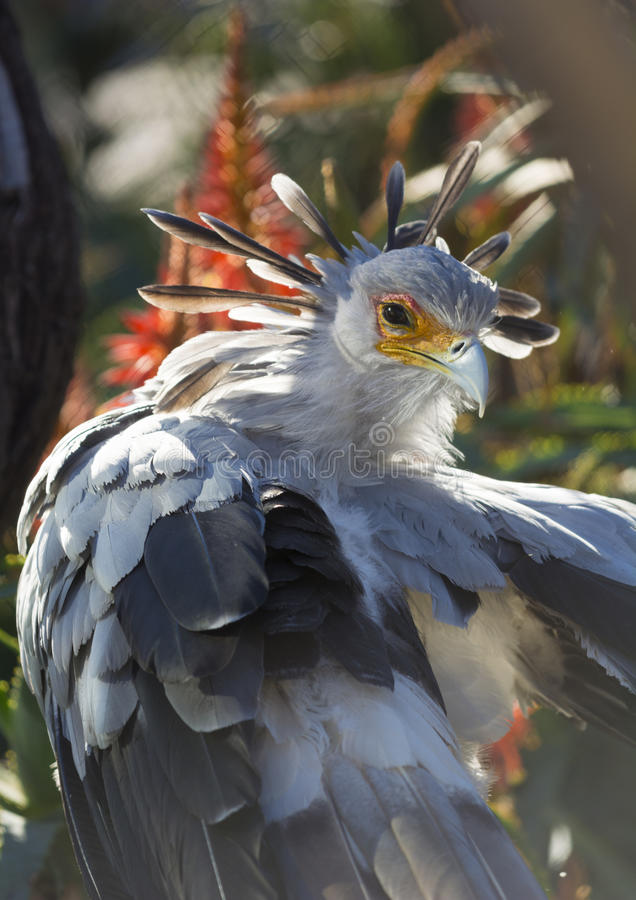 A secretary bird portrait with beatiful plumage. A secretary bird portrait with beautiful plumage back lit royalty free stock photography