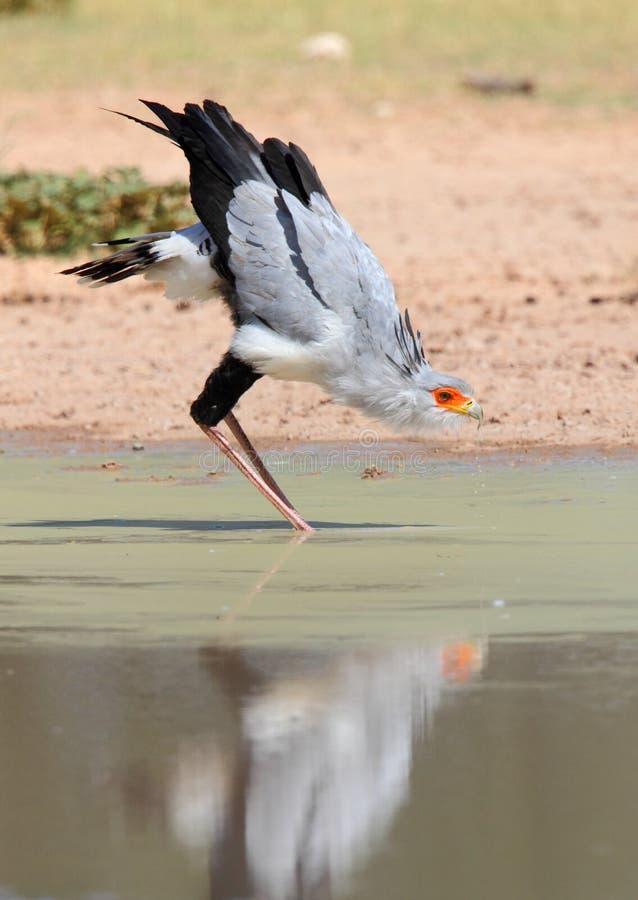 Free Secretary Bird Reflection Drinking Water Royalty Free Stock Photo - 13892405