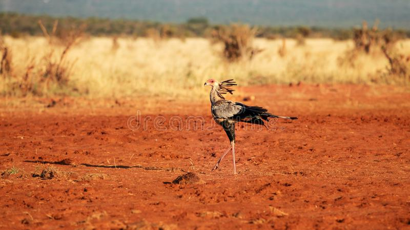 Secretary bird Sagittarius serpentarius walking on red ground. Secretary bird Sagittarius serpentarius walking on red stock images
