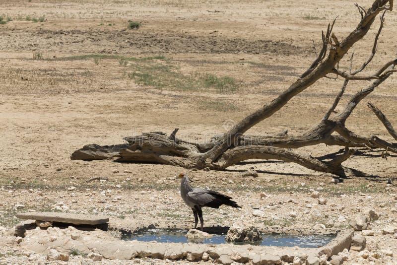 Secretary bird. A secretary bird at waterhole, Kgalagadi National Park, South Africa, sagittarius, serpentarius, animal, coloured, plumage, transfrontier stock photo