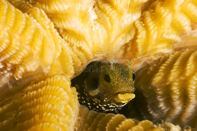 Secretary Blenny royalty free stock image