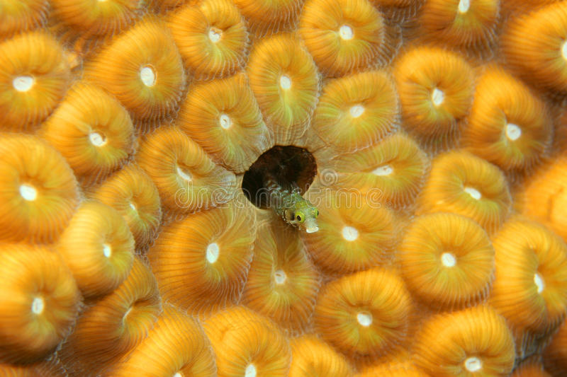 Secretary Blenny in a Coral Head - Bonaire stock image