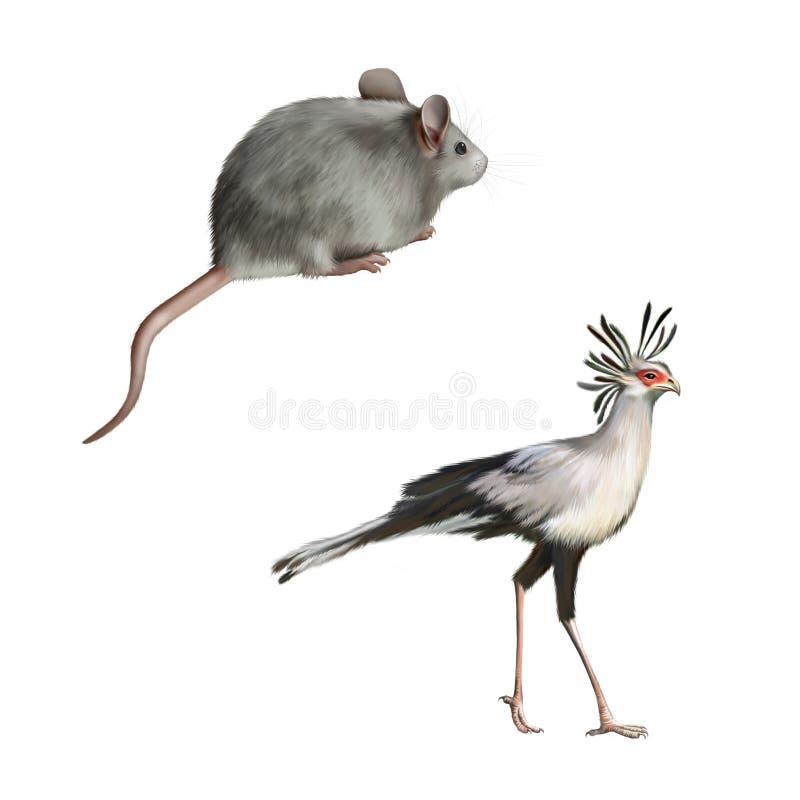 Secretarybird i Śliczna szara mysz odizolowywający dalej ilustracja wektor