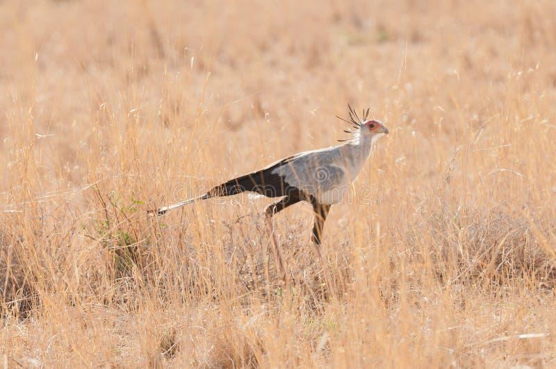 Secretarybird på savannet royaltyfri fotografi