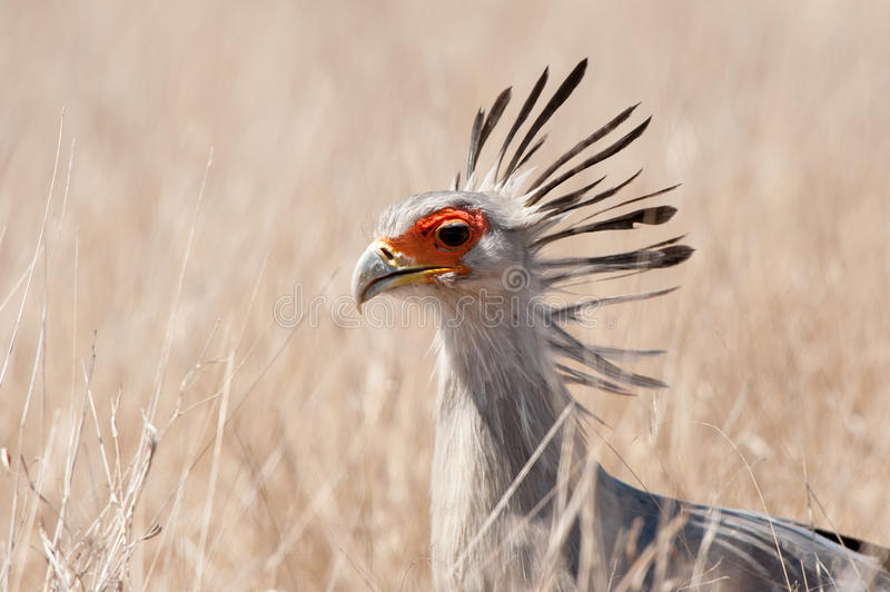 Secretarybird (Sagittarius serpentarius) royalty free stock photography