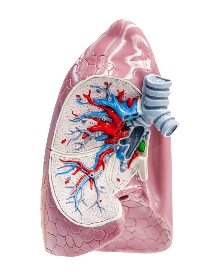 Sectie aan menselijke longen royalty-vrije stock afbeelding