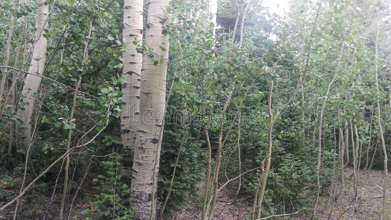 Section of an Aspen Grove royalty free stock image
