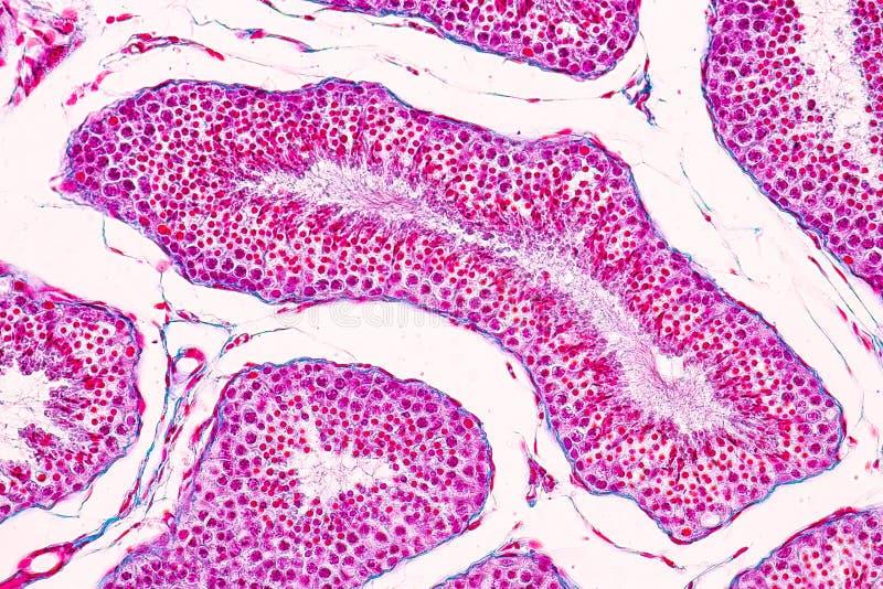 Section de tissu de testicule sous le microscope image libre de droits