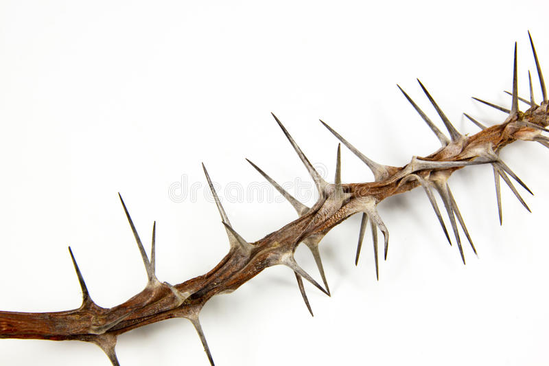 Section of Dried Branch Covered in Sharp Thorns royalty free stock photography