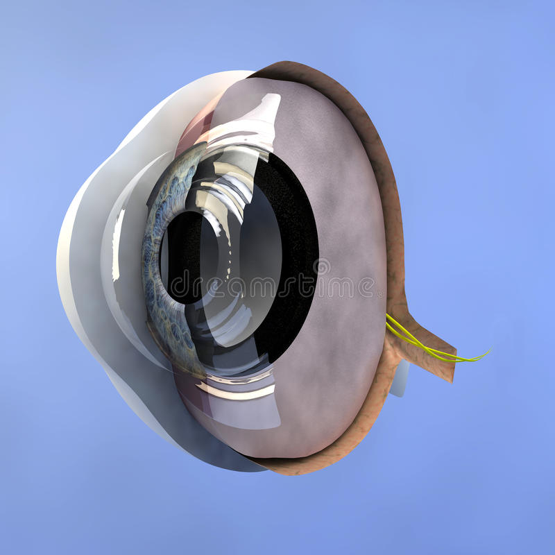 Section of an eye. Horizontal section of an eyeball stock illustration