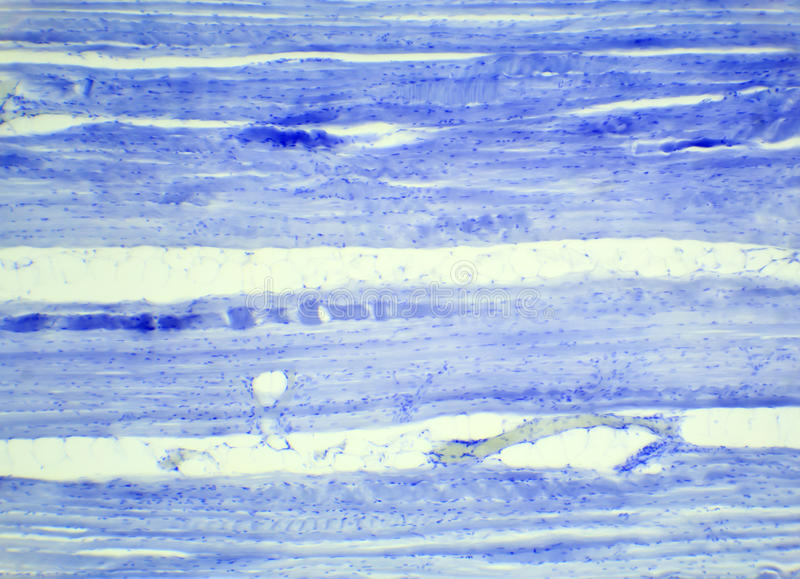 Section longitudinale de tissu de muscle squelettique sous un microscope, photos libres de droits