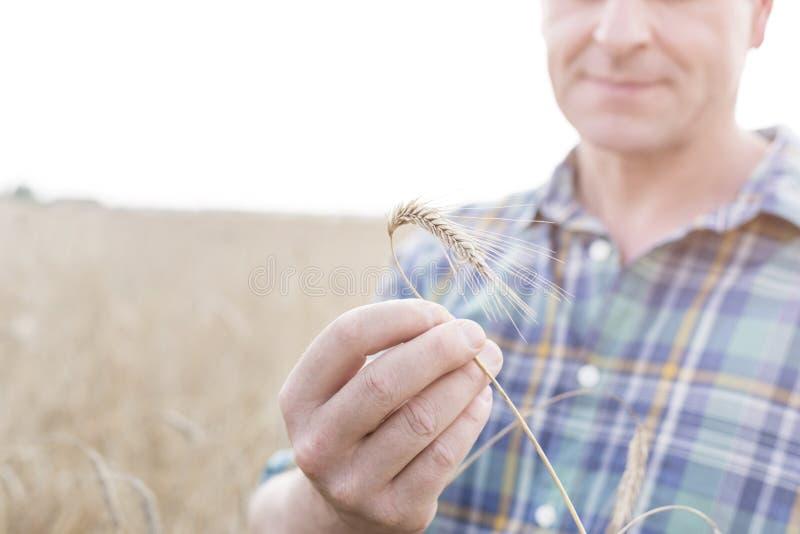 Section médiane de blé de examen de producteur mûr à la ferme photographie stock libre de droits