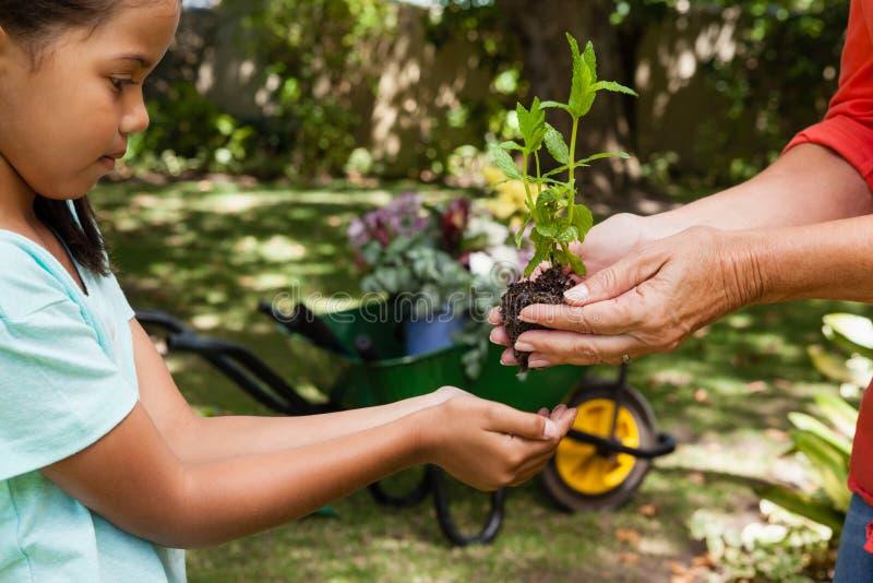 Section médiane de femme supérieure donnant la jeune plante à la petite-fille image libre de droits