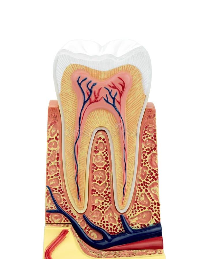 Section transversale d'un modèle anatomique de dent photo libre de droits