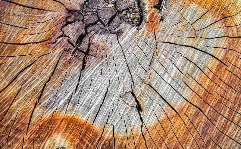 Section transversale d'un tronc d'arbre photos stock
