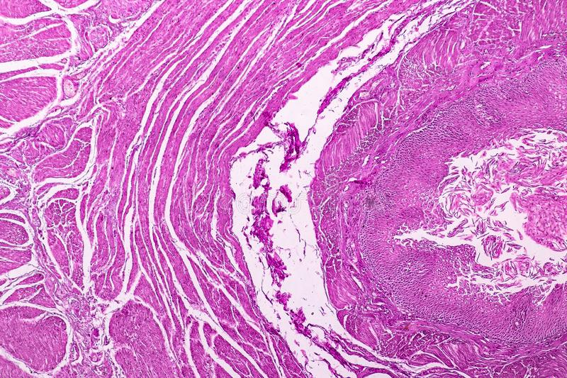 Section transversale du cervelet et du nerf humains sous le microscope pour l'éducation photographie stock libre de droits