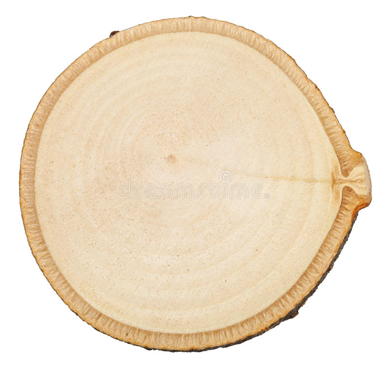 Section transversale du tronc d'arbre de bouleau d'isolement photo libre de droits