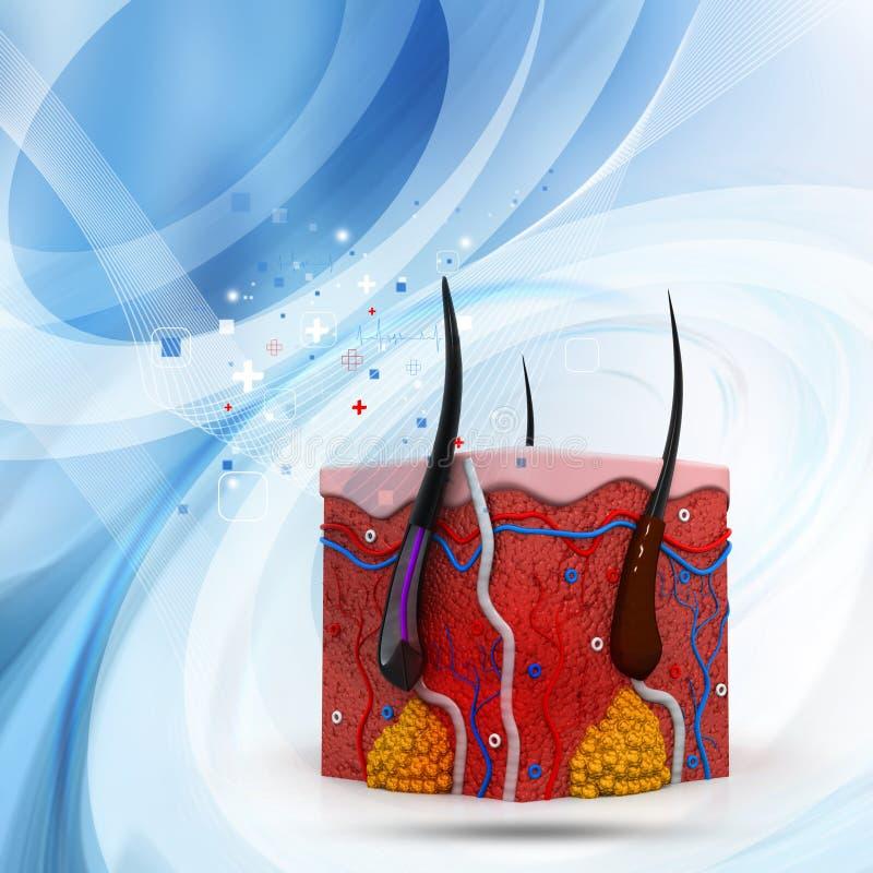 Section transversale humaine d'anatomie de peau illustration stock