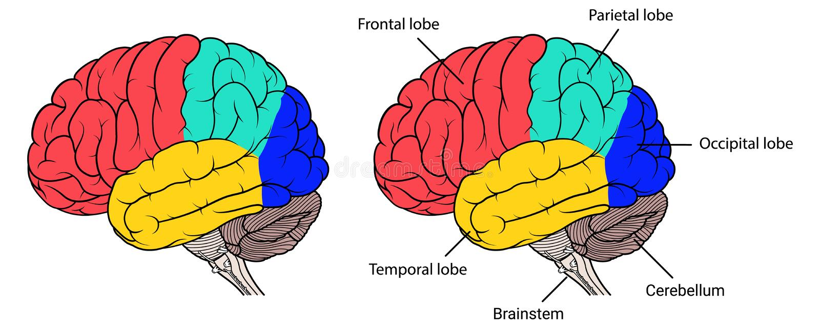 Sections of human brain anatomy side view flat. Vector Illustration ,Flat Sections of human brain anatomy Side view on white background vector illustration