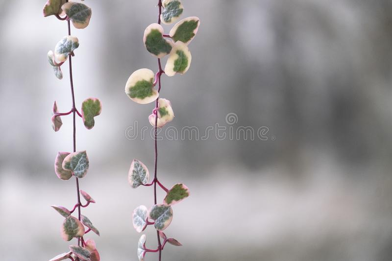 Secuencia abigarrada de la planta suculenta del corazón imágenes de archivo libres de regalías