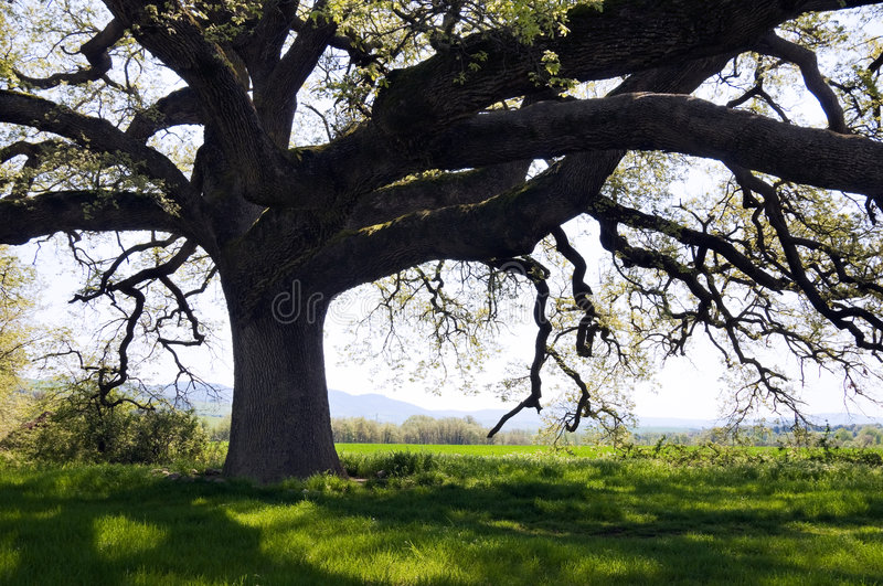 Secular oak tree royalty free stock photos