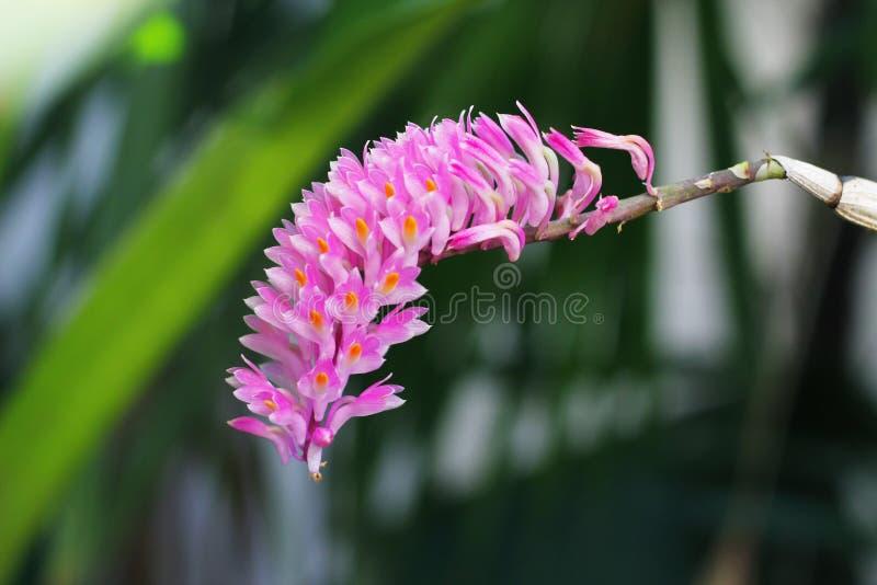 Secundum da orquídea ou do Dendrobium foto de stock royalty free