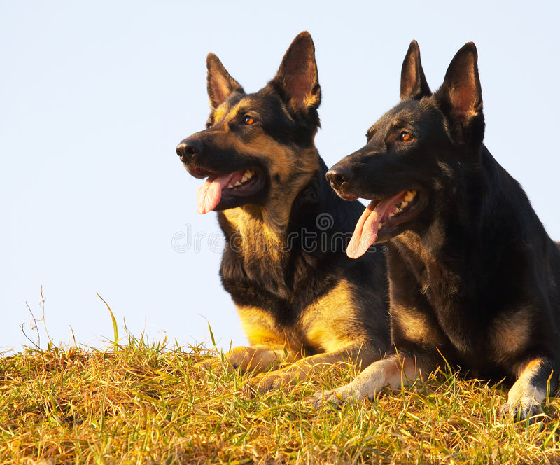 Security dogs stock images