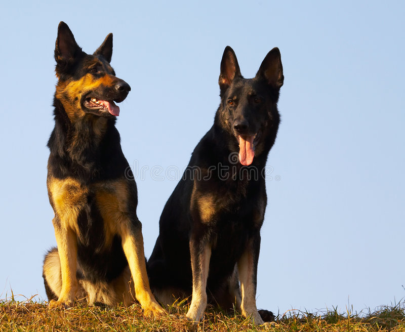 Download Security dogs stock photo. Image of brown, pant, tongue - 2260936