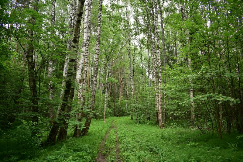 The sedate birches bent over the tiny nave of the green forest. Where the dome of heaven bottomless blue, where the walls are woven of the branches of the royalty free stock photos