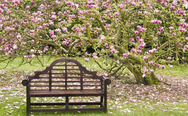 Sede di legno sotto l'albero sbocciante della magnolia immagine stock