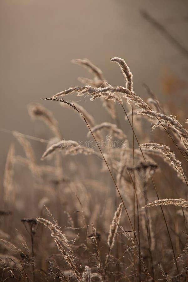 Sedge χλόη το φθινόπωρο στο καφετί υπόβαθρο Κάλαμοι στο ηλιοβασίλεμα στοκ εικόνα