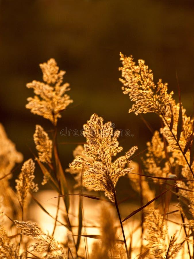 Sedge in sunset light royalty free stock photos